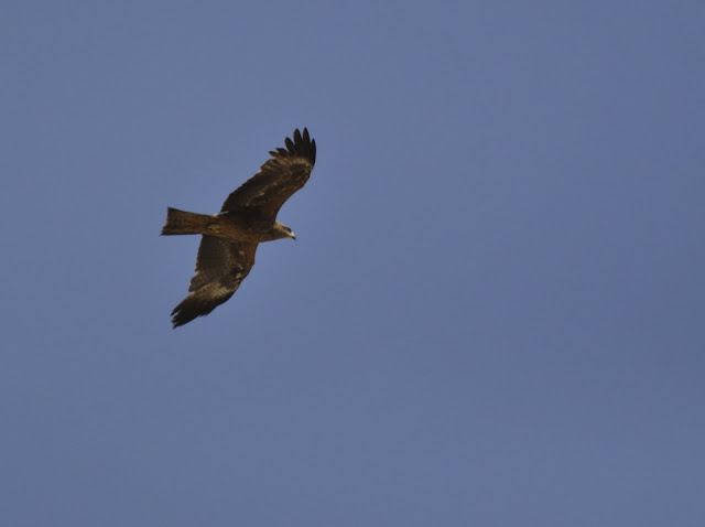 On the same Height - Black Kite