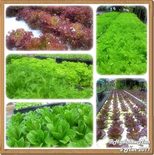 ปลูกผักไร้ดิน