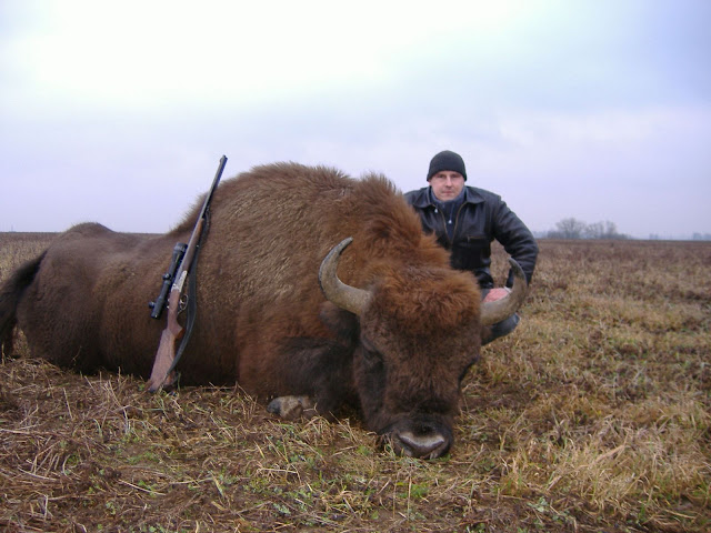 Wisent (European Bison) hunting