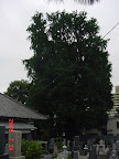 光福寺の大イチョウ