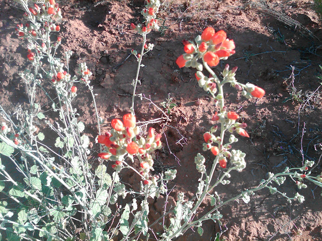 Willdflowers along the hike near Verde Santa Fe, Cornville AZ