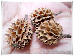 fir cones of bagan lalang