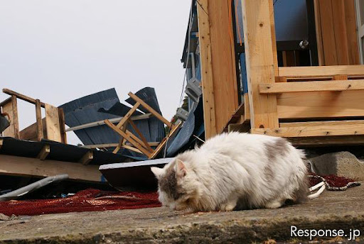 cute cat eating by house debris after earthquake on tashirojima island