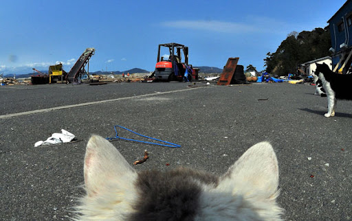 cats watch construction after earthquake japan tsunami tashirojima island