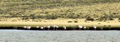 Patagonia flamingoes in a pool