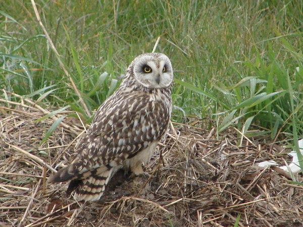 Short_Eared_Owl_-_geograph.org.uk_-_771750.jpg