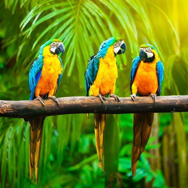 Exotic Birds   Bird Sound Effects Library   asoundeffect.com