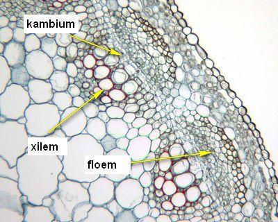 medicago cambium Jaringan pada tumbuhan (1) : Jaringan meristem