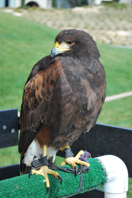 This is a photo of a bird of prey visiting Terranea Resort, Palos Verde, CA.