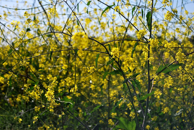 This is a photo of the mustard plant.