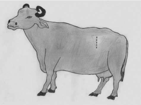 The operative site on the left paralumbar fossa in the buffalo (dotted line).