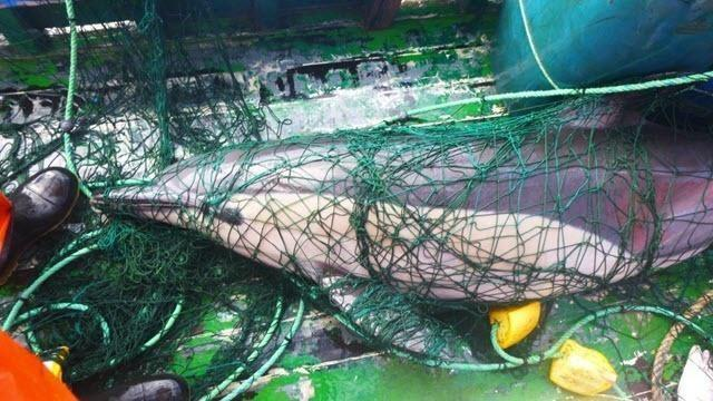 ghts on fishing nets helps save dolphins   Marine Connection