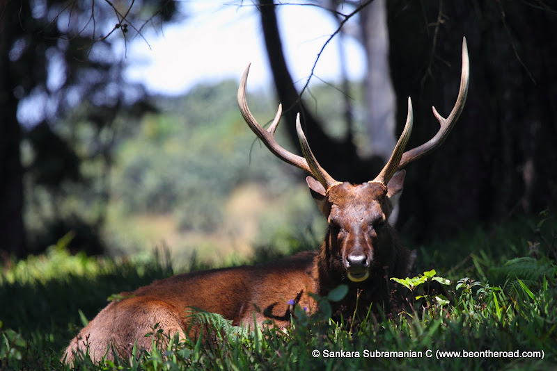 Sambar Deer Stag at Horton Plains - 3