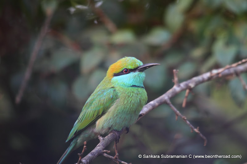 Green Bee Eater - 3