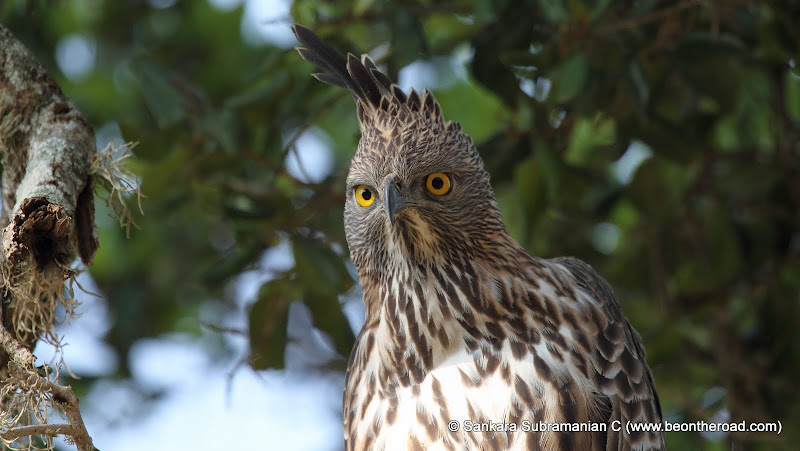 Changeable Hawk Eagle at Yala National Park - 3