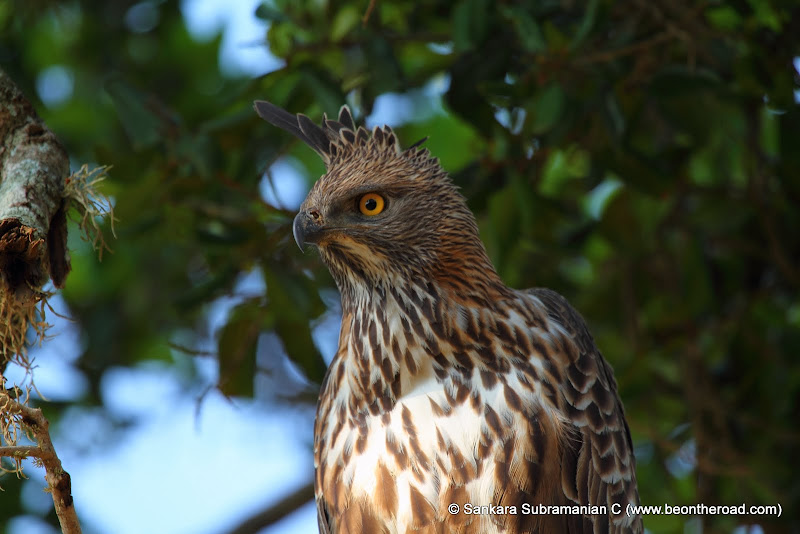 Changeable Hawk Eagle at Yala National Park - 6