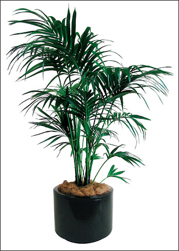 indoor kentia palm plant hire