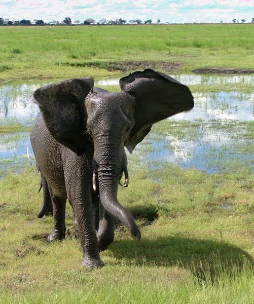 Слон после купания