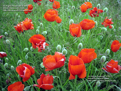 Natural poppy fields Iran nature