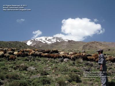 Damavand Sheep an Shepherd