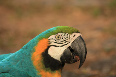 Guacamayo en Costa Rica