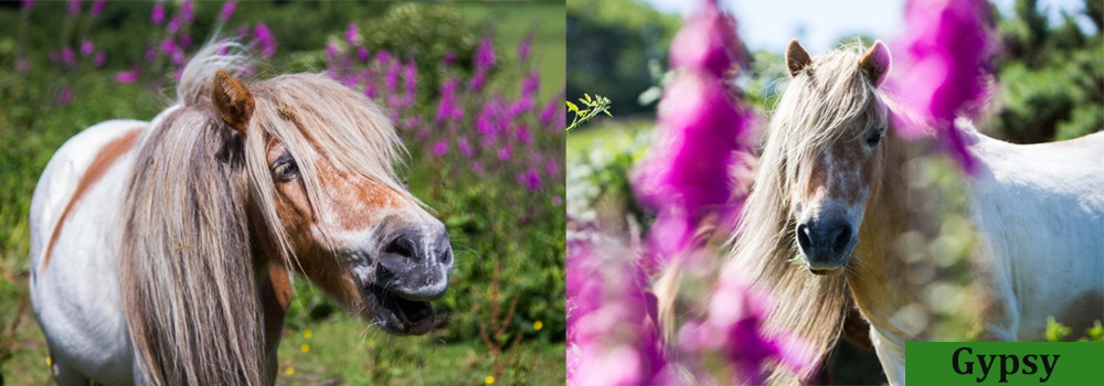 Gypsy is a sweet Shetland pony at Lower Campscot Self-Catering Holiday Cottages,