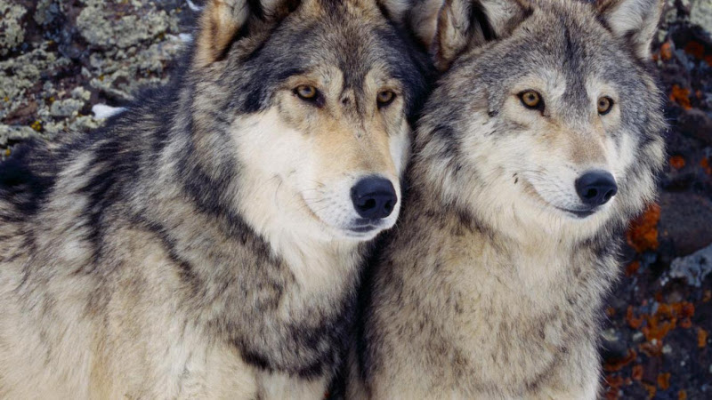 8 Wild Wolves Wallpaper Collection For Your Desktop