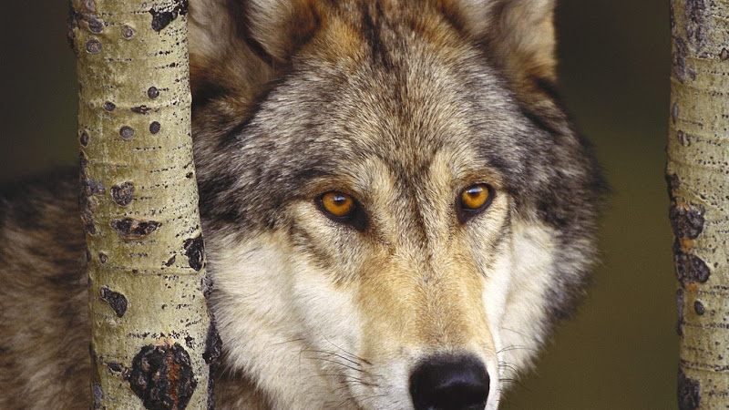 """""""Wild Wolves"""" Wallpaper Collection For Your Desktop"""
