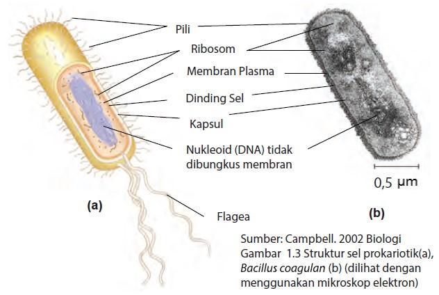 struktur bakteri prokariotik