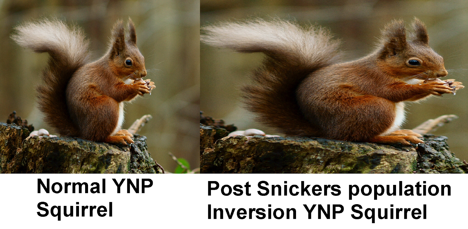 Figure 2: Yellowstone National Park Diabetic squirrel comparison