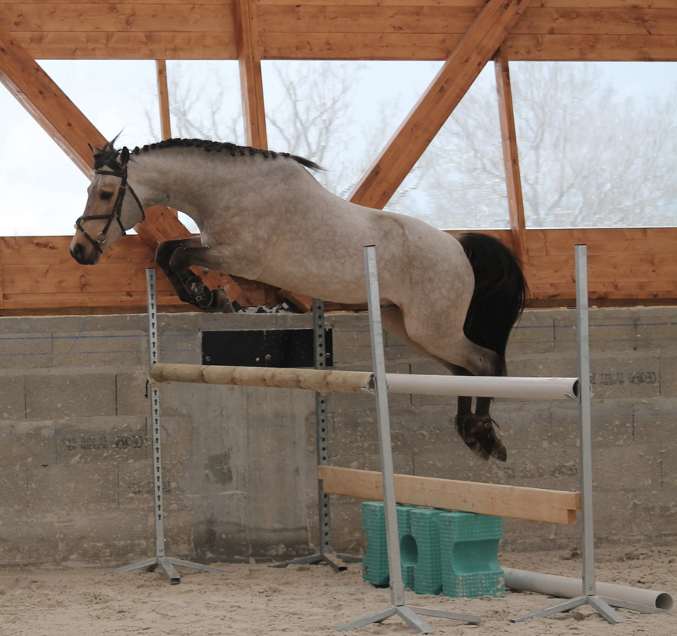 Free jumping horse bascules over an obstacle