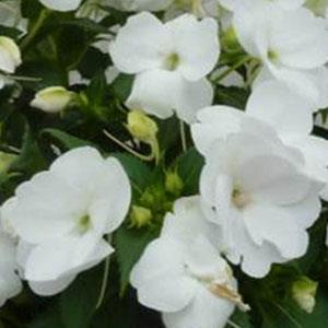 Image result for impatiens sunpatiens spreading clear white