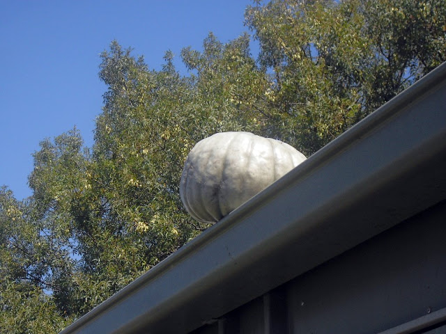 pumpkin on the shed drying out