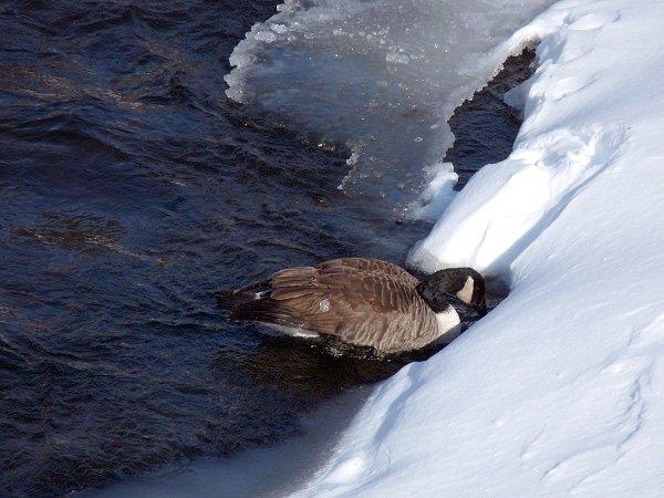 canadian goose in winter