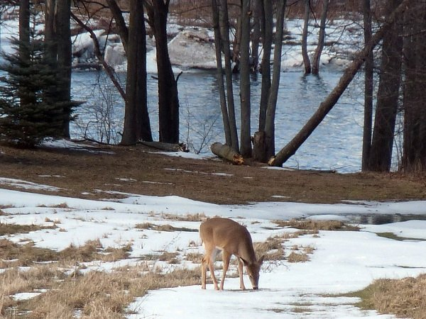deer browsing by the river