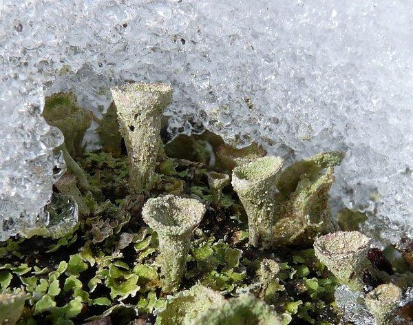 lichen podentia and snow