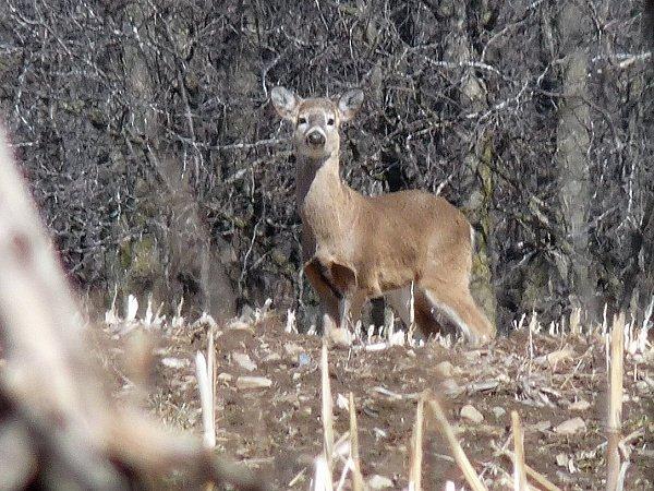 deer in corn stubble