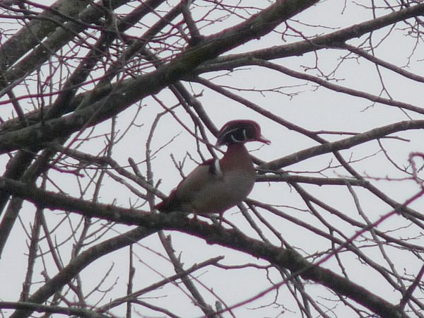 wood duck in tree