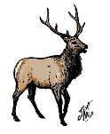 Roosevelt Elk of the Olympic Park