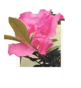 Cuidados de la azalea y rododendro como hacer una planta - Azalea cuidados planta ...