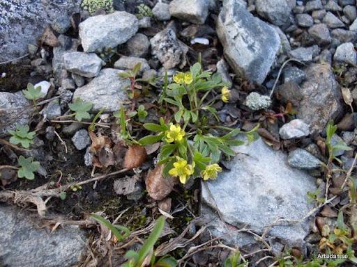 Dvärgranunkel Ranunculus pygmaeus