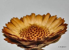 Coronata-Blütenboden