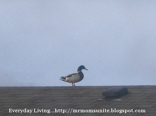 photo of a duck on top of a roof