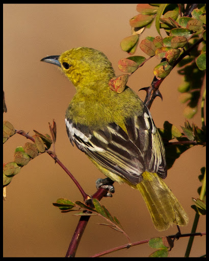 Common Iora - Female