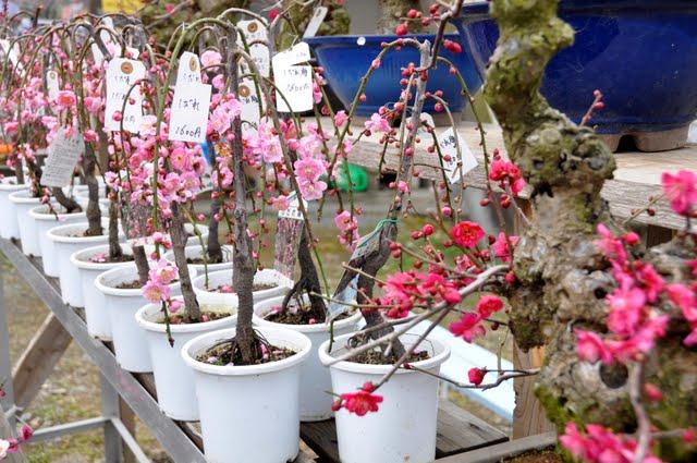梅の鉢販売