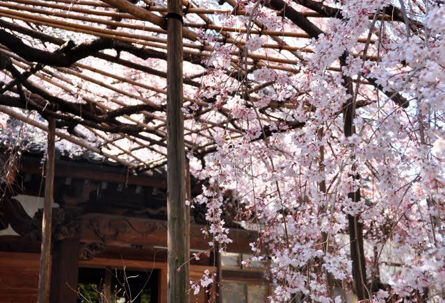玉蔵院しだれ桜