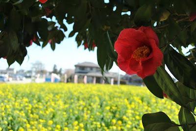 菜の花と椿