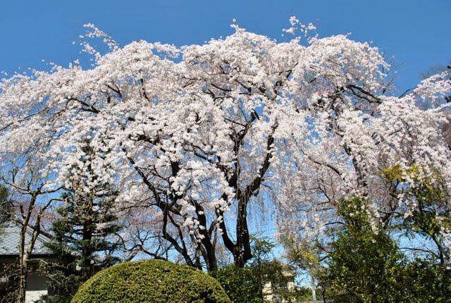 中院のしだれ桜