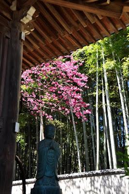 釈迦堂と寒緋桜