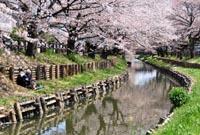 川越氷川神社裏の桜記事へ